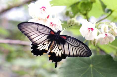 gray and black butterfly sniffing white flower